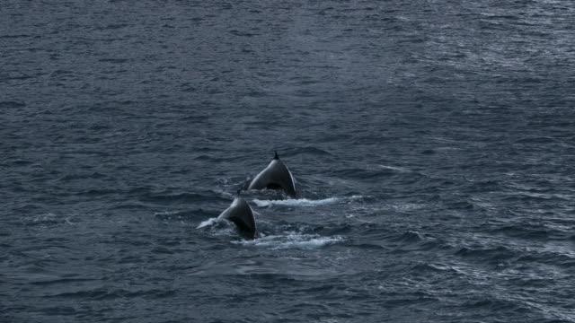 vídeos de stock e filmes b-roll de humpback whales - cetáceo
