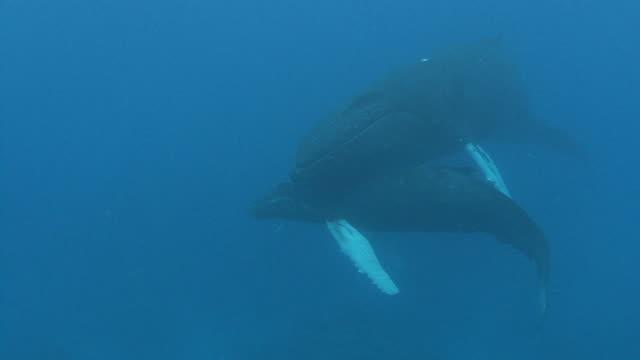 ザトウクジラ - 2匹点の映像素材/bロール