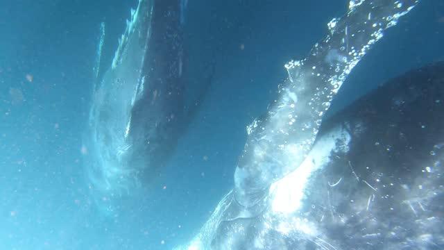 2 humpbacks swimming toward camera - south pacific ocean stock videos & royalty-free footage