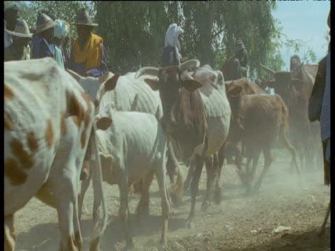 humped cattle are herded into river, mali - 家畜点の映像素材/bロール