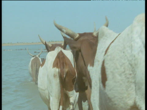 Humped cattle enter river, Mali