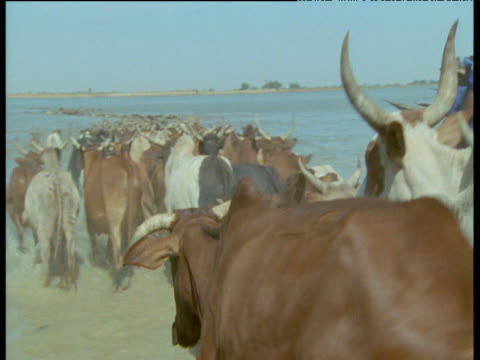 Humped cattle enter river with cattle herders, Mali
