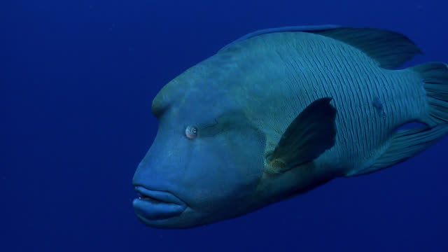 humphead napoleon wrasse in red sea - wrasse stock videos & royalty-free footage
