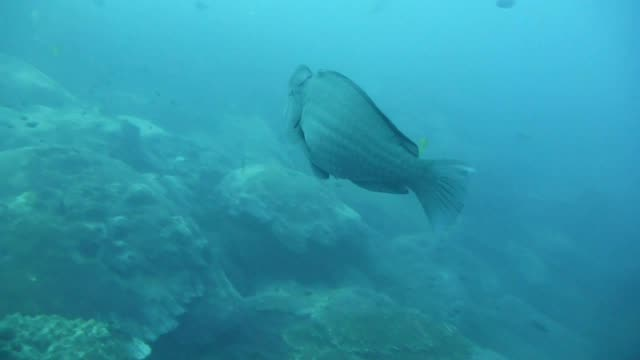 Humphead Parrotfish in Gulf of Thailand