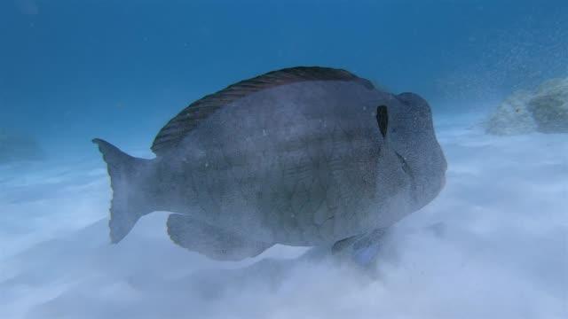 humphead papageienfisch (bolbometopon muricatum) im indischen ozean auf der insel la digue, seychellen, schärenland im indischen ozean - south pacific ocean stock-videos und b-roll-filmmaterial