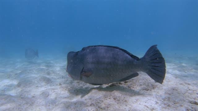 humphead parrotfish (bolbometopon muricatum) in indian ocean on praslin island , seychelles , archipelago country in the indian ocean - parrotfish stock videos & royalty-free footage