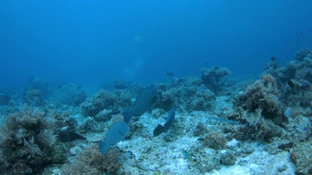 humphead (bumphead) parrotfish schooling in ocean floor, raja ampat - humphead wrasse stock videos & royalty-free footage