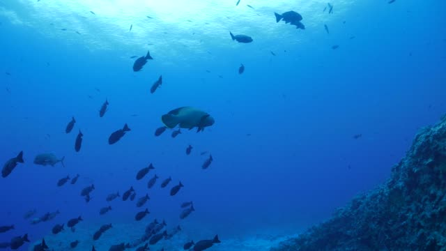 humphead wrasse at sea coral reef, palau - humphead wrasse stock videos & royalty-free footage