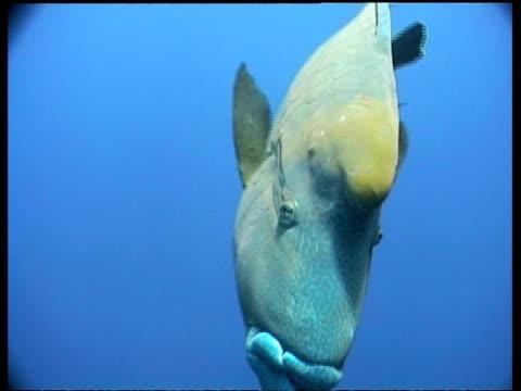 humphead wrasse fish (cheilinus) - cu male looks to camera, sabah, borneo, malaysia - humphead wrasse stock videos & royalty-free footage