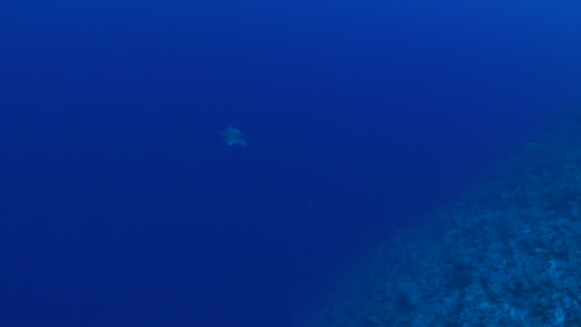 humphead wrasse (napoleonfish) in coral reef - humphead wrasse stock videos & royalty-free footage