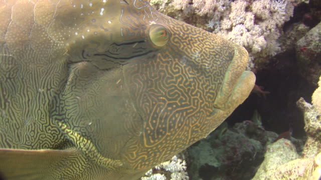 humphead wrasse (cheilinus undulatus). red sea - humphead wrasse stock videos & royalty-free footage