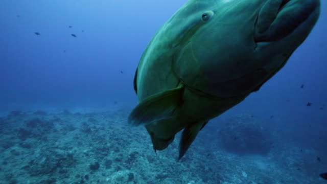 humphead wrasse swimming underwater - wrasse stock videos & royalty-free footage
