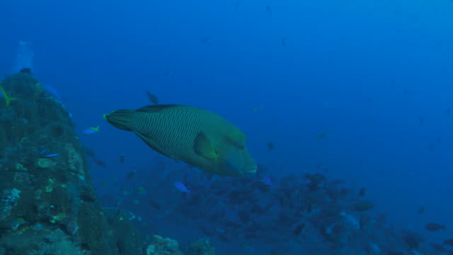 humphead wrasse swims close to scuba diver in coral reef - wrasse stock videos & royalty-free footage