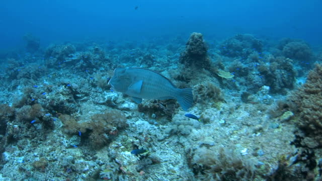 humphead wrasse (bumphead parrotfish) undersea in coral reef - humphead wrasse stock videos & royalty-free footage