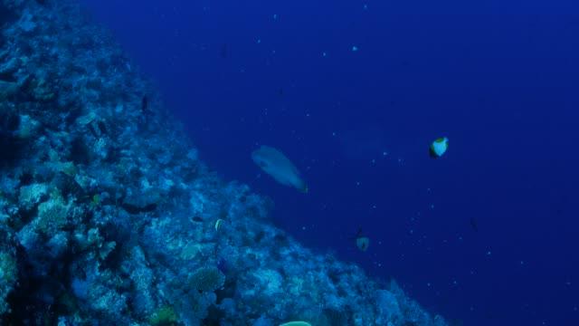 humphead wrasse (napoleon fish) undersea, palau - humphead wrasse stock videos & royalty-free footage