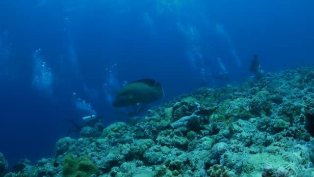 humphead wrasse (napoleon fish), undersea reef, palau - humphead wrasse stock videos & royalty-free footage