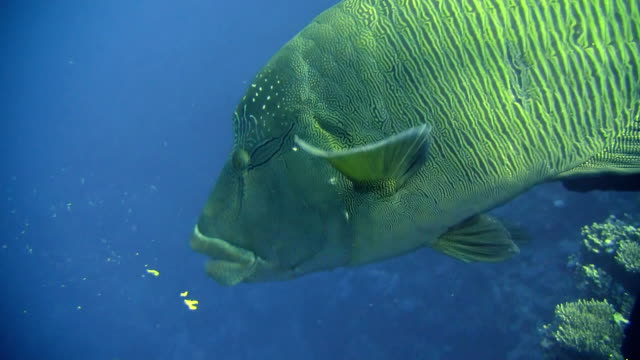 hd: humphead wrasse - humphead wrasse stock videos & royalty-free footage