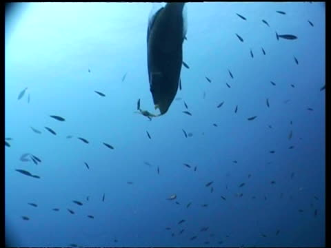 ms humphead wrasse with small crab in mouth, drops crab, catches and eats it, swims away from camera, malapascua, philippines - humphead wrasse stock videos & royalty-free footage