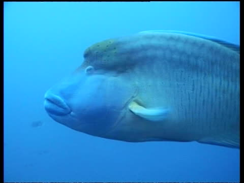 MS Humphead Wrasse with snagged tail fin, male swims over reef, Sipadan, Borneo, Malaysia