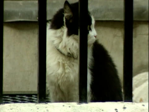 humphrey the cat belonging to prime minister margaret thatcher and who served under prime ministers john major and tony blair walks outside and into... - john major stock-videos und b-roll-filmmaterial