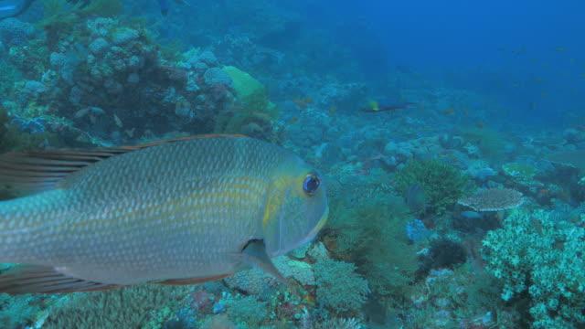 Humpnose grande Douradas do olho, nadar, recife de coral tropical, mar