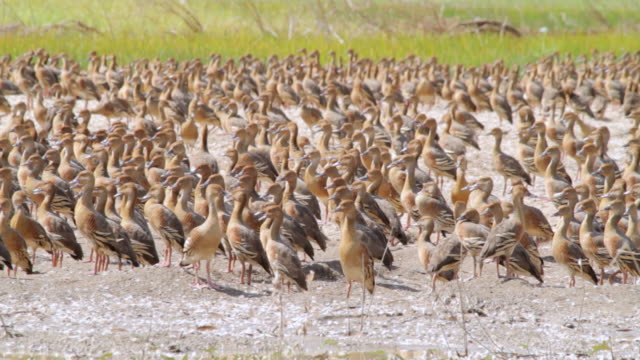 ms zo hundreds of ducks relaxing in marshlands / northern territory, australia - wiese stock videos & royalty-free footage