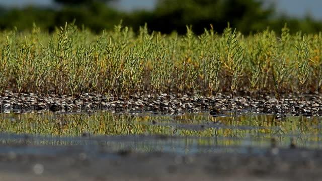 Hundreds of Fiddler crabs in Florida marsh