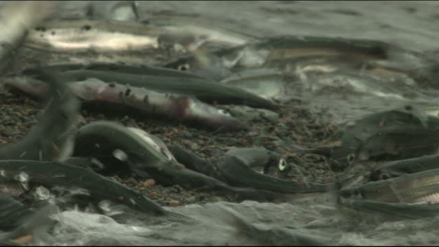 hundreds of fish wriggle and flop on a sandy beach. - tod stock-videos und b-roll-filmmaterial