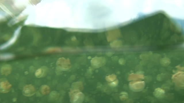 Hundreds of jellyfish swim beneath the surface of Jellyfish Lake. Available in HD.