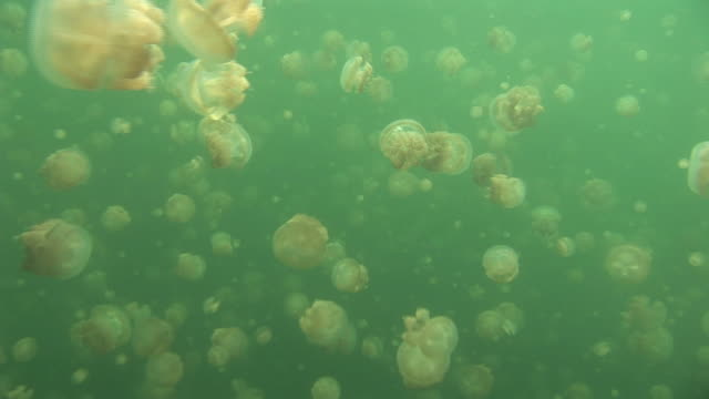 stockvideo's en b-roll-footage met hundreds of jellyfish swim in the green water of jellyfish lake. available in hd. - ongewerveld dier
