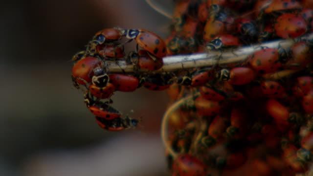 hundreds of ladybugs swarm over a twig. - 昆虫点の映像素材/bロール