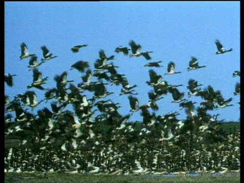 hundreds of magpie geese take off in mass flight from lake, papua new guinea - elster stock-videos und b-roll-filmmaterial