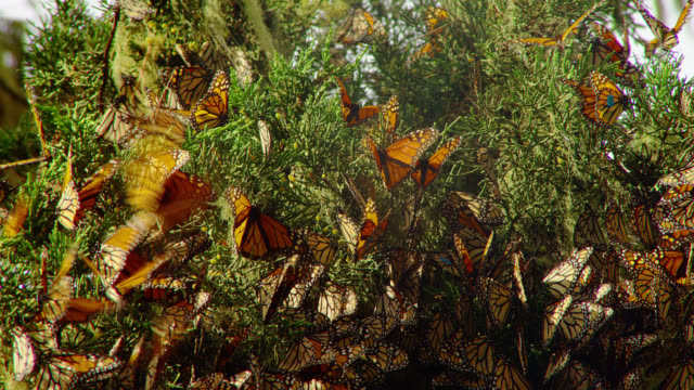 CLOSE UP hundreds of monarch butterflies on pine branches blowing in breeze