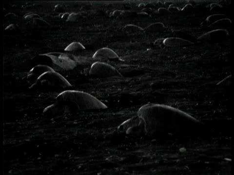 Hundreds of Olive Ridley turtles lay eggs on beach at night, Ostional, Costa Rica