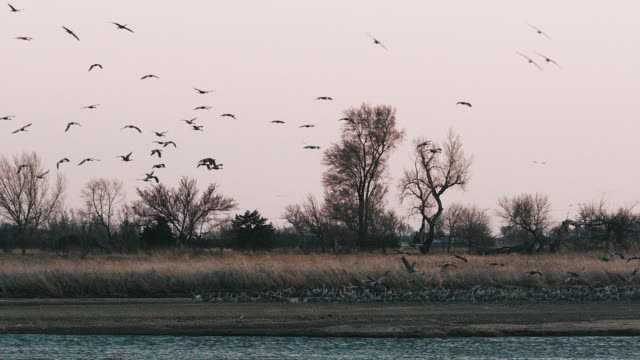 hundreds of sandhill cranes fly in for a landing on a sandbar in the platte river at sunset - slow motion. - 1 minute or greater stock videos & royalty-free footage