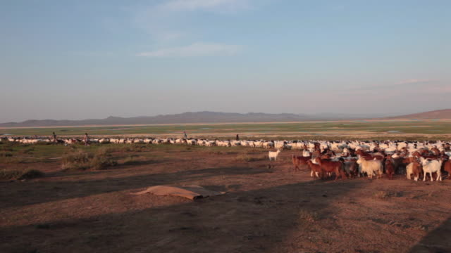 hundreds of sheep and goat running uncontrollably through the mongolian steppe - nomadic people stock videos & royalty-free footage