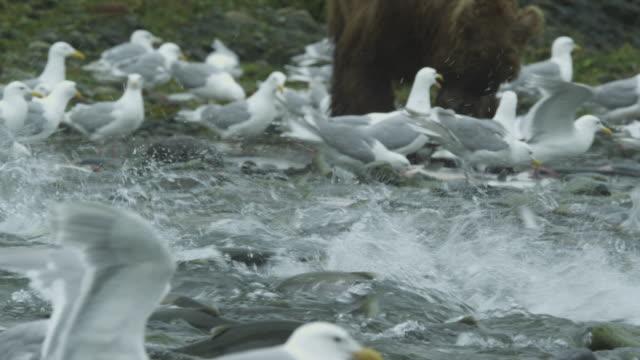 hundreds of sockeye salmon head upstream, seagulls at side, bear in background eating, mcneil river game range, alaska, 2011 - grizzlybär stock-videos und b-roll-filmmaterial