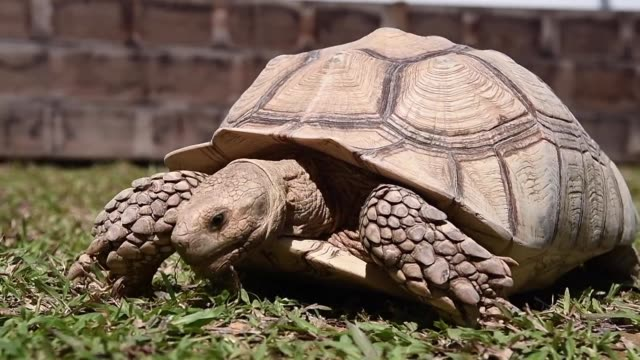 hundreds of turtles and tortoises including rare and endangered species face an uncertain future after their singapore sanctuary a guinness world... - threatened species stock videos & royalty-free footage