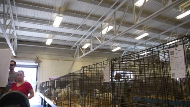 vídeos y material grabado en eventos de stock de hundrens of chickens on display getting ready for judging at the annual state fair - escarapela