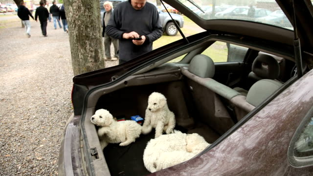 hungary, pécs, animal market (pecsi vasar, pécs flea market), puppies for sale in the trunk of a car - vendere video stock e b–roll