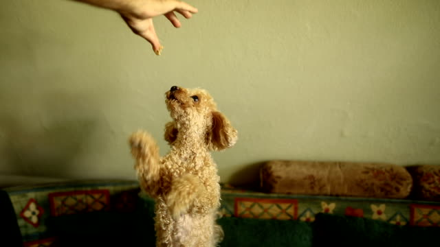 hungry and naughty poodle asking for food - obedience stock videos & royalty-free footage