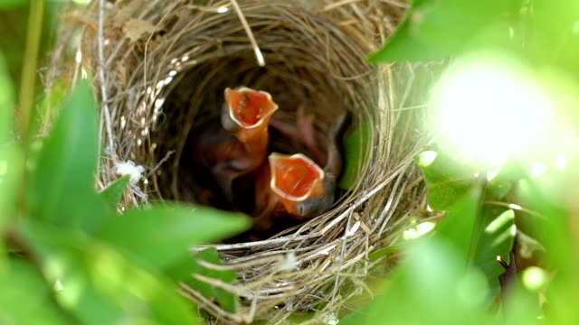 slo mo hungry baby birds in nest. - young bird stock videos & royalty-free footage