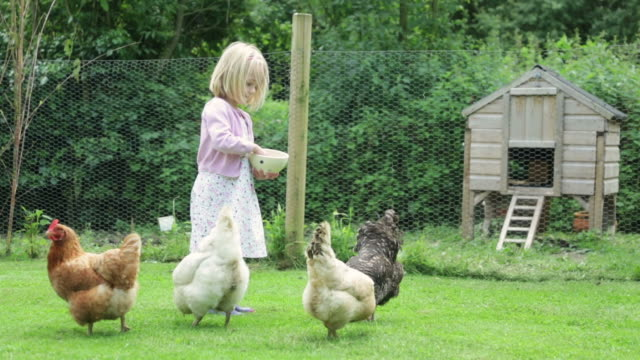 hungry chickens - livestock stock videos & royalty-free footage