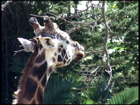 hungry giraffe eats tree twigs - letterbox format bildbanksvideor och videomaterial från bakom kulisserna