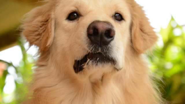hungry golden retriever dog want to eat food - retriever stock videos and b-roll footage