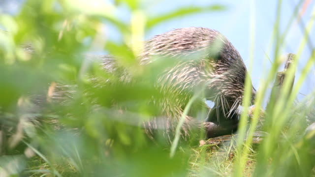 hungry otter - otter stock videos & royalty-free footage