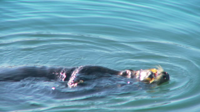 hungry sea otter floating on its back and eating muscles - schnurrhaar stock-videos und b-roll-filmmaterial