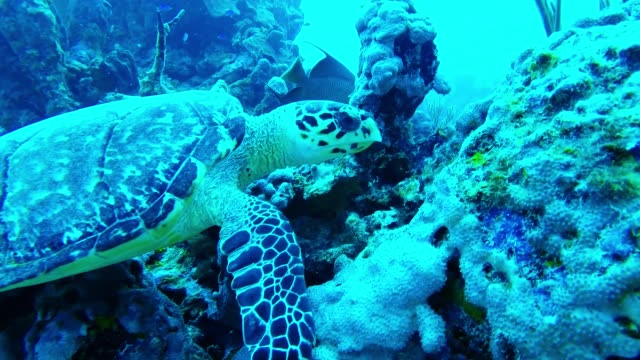 a hungry sea turtle contentedly munches away on coral and sponges far below the waves in the cayman islands it's a beautiful sight as he slowly tears... - too small stock videos & royalty-free footage