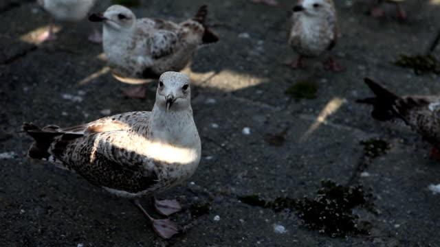 stockvideo's en b-roll-footage met hd hungry seagulls - dierlijke mond