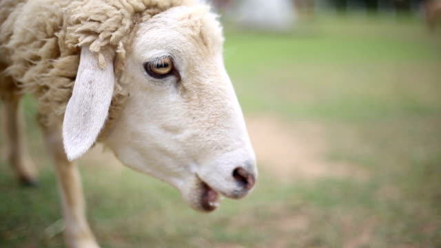 hungry sheep in the farm, livelihood of white sheep - lamb animal stock videos and b-roll footage